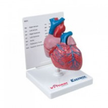 Two Part Heart Model